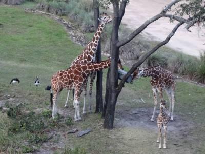 Photo illustrating <font size=1>Animal Kingdom Lodge - giraffe feeding time