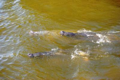 Manatees in Cocoa Beach photo