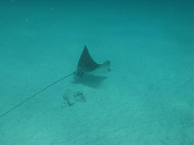 Eagle Ray photo