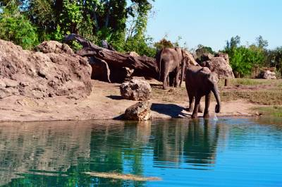 Photo illustrating Animal Kingdom - Kilimanjaro Safari elephants