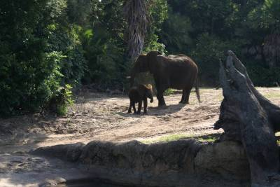 Photo illustrating <font size=1>Baby Elephant and Mom