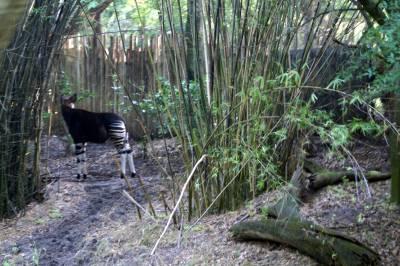 Photo illustrating <font size=1>Okapi on the Sunrise Safari