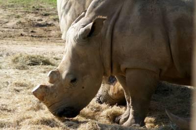 Photo illustrating <font size=1>White Rhino on Sunrise Safari 3