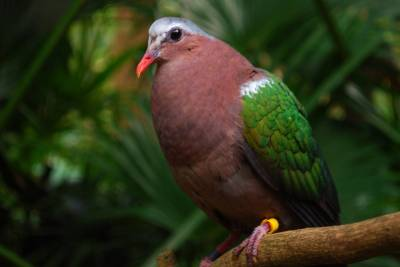 Photo illustrating Asia-Maharajah Jungle Trek-Green Winged Dove