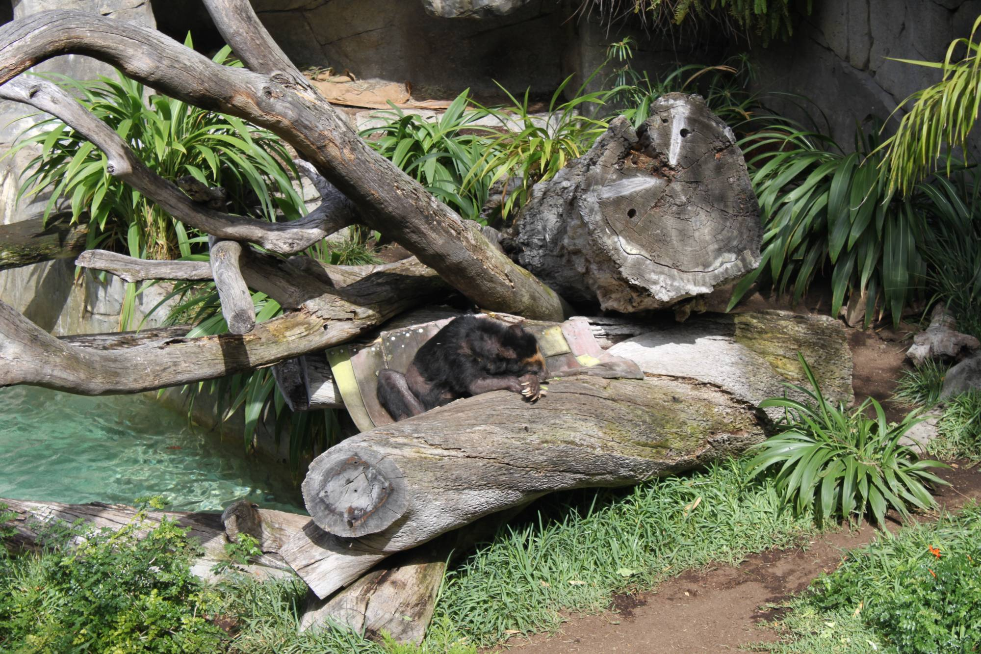 Sleeping bear at San Diego Zoo
