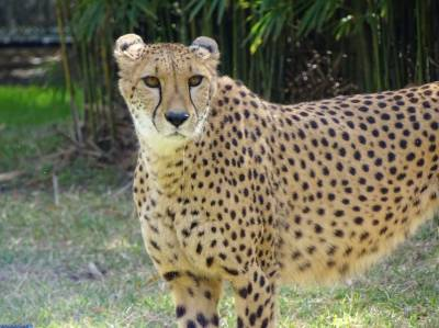 Busch Gardens - cheetah enclosure