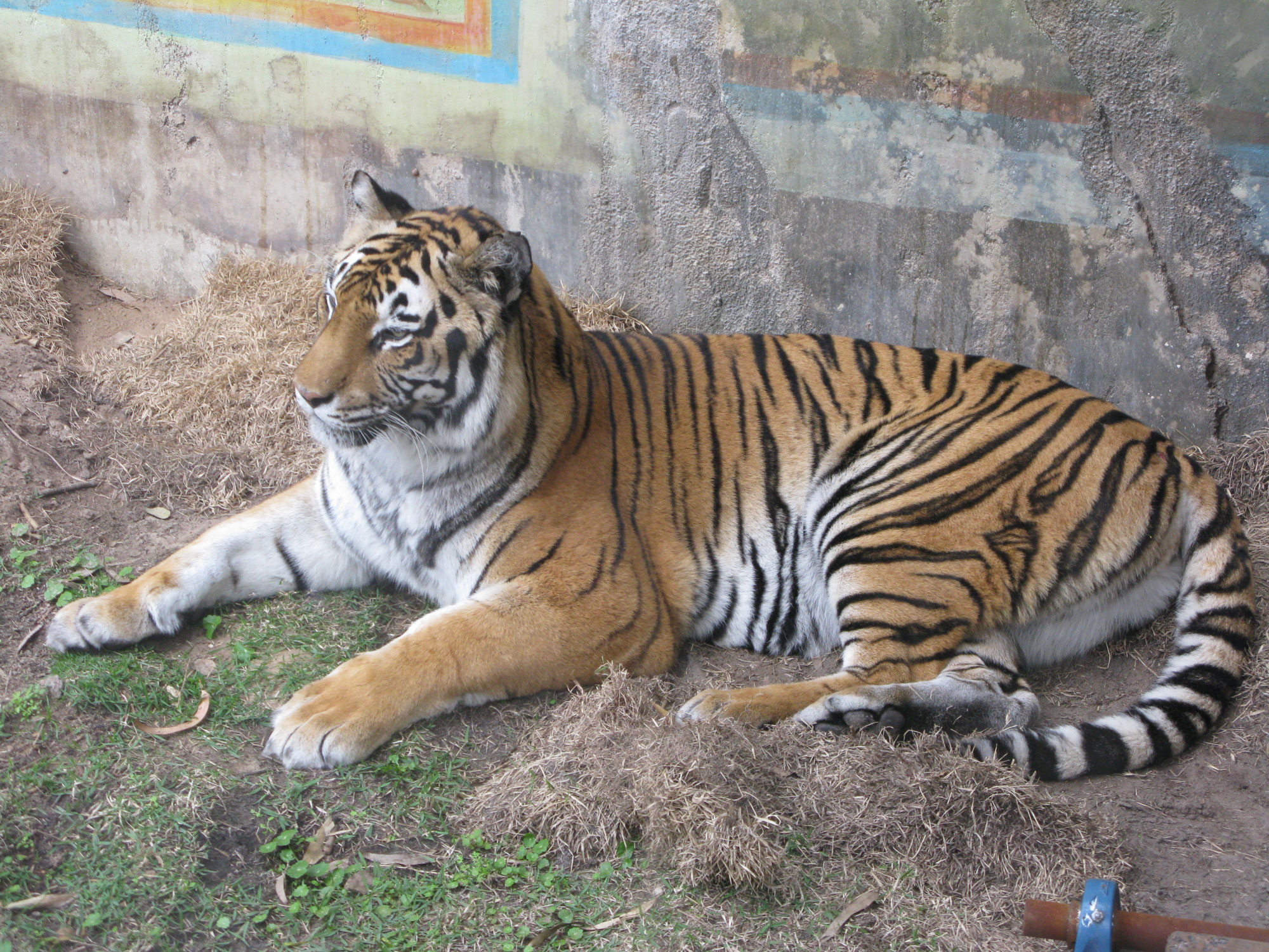 Maharajah Jungle Trek Tiger