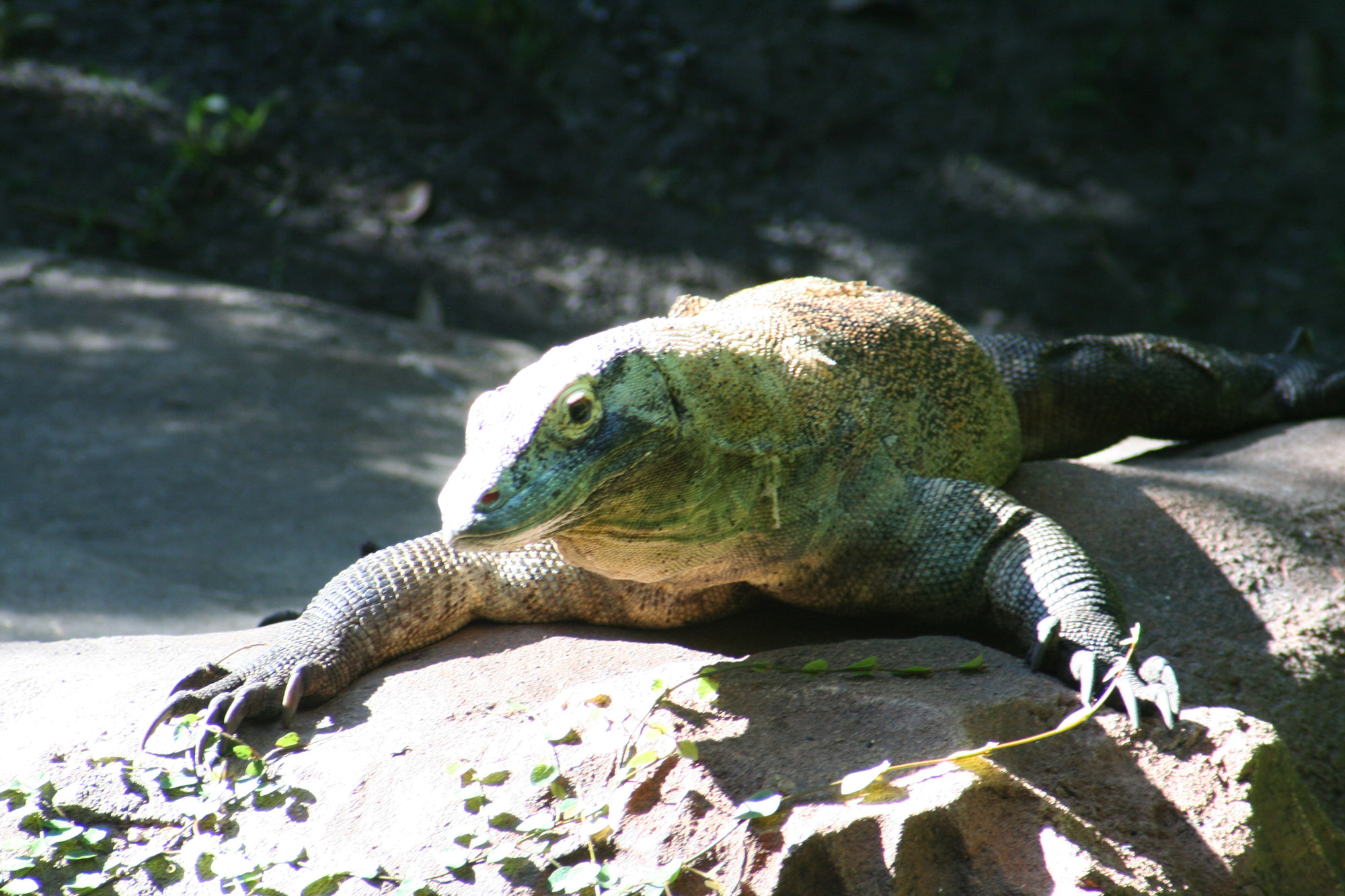 Maharajah Jungle Trek - komodo dragon